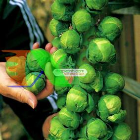 Picture of Hạt giống Bắp cải tí hon xanh