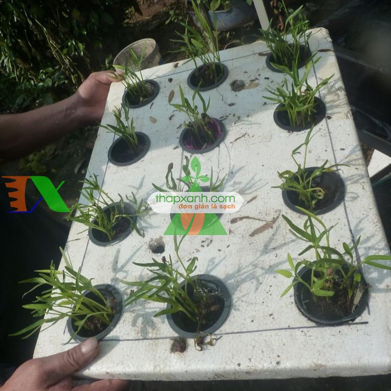 Cách trồng rau muống bằng phương pháp thủy canh