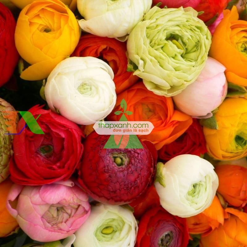 Kỹ thuật trồng hoa Mao Lương (Hồng ri Ba Tư)