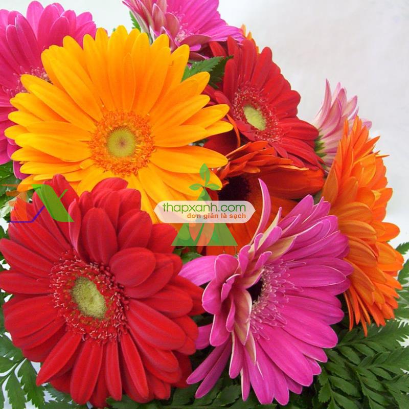 Kỹ thuật trồng và chăm sóc hoa Đồng Tiền