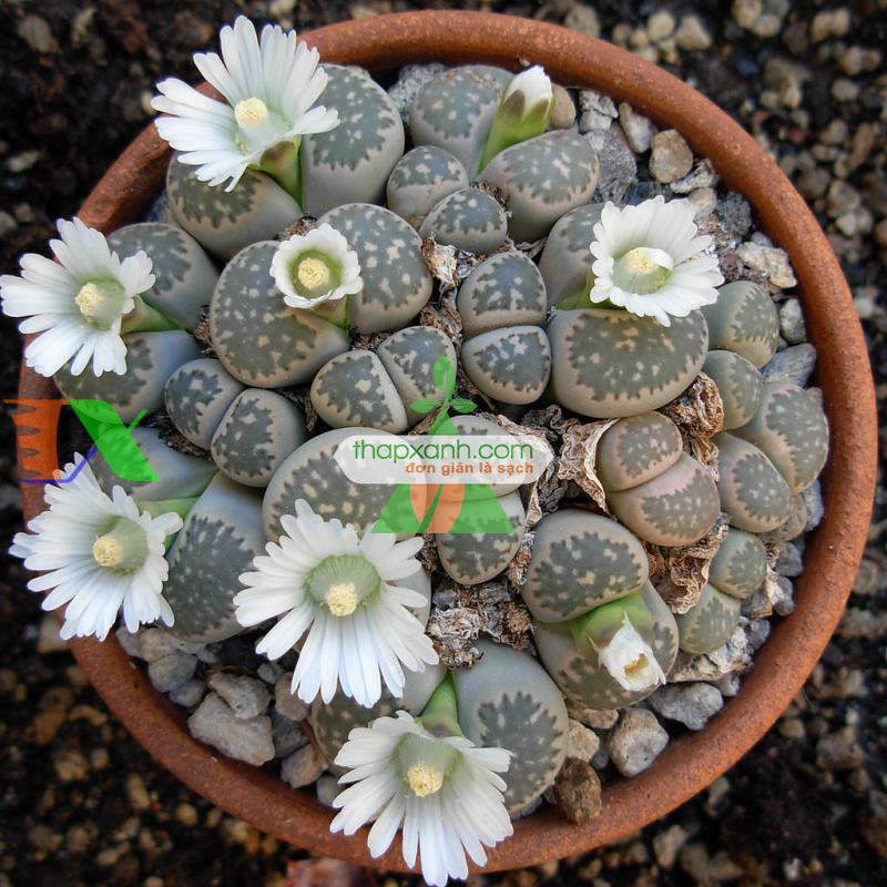 Kỹ thuật trồng và chăm sóc hoa Sỏi (Thạch lan, Lipthop)