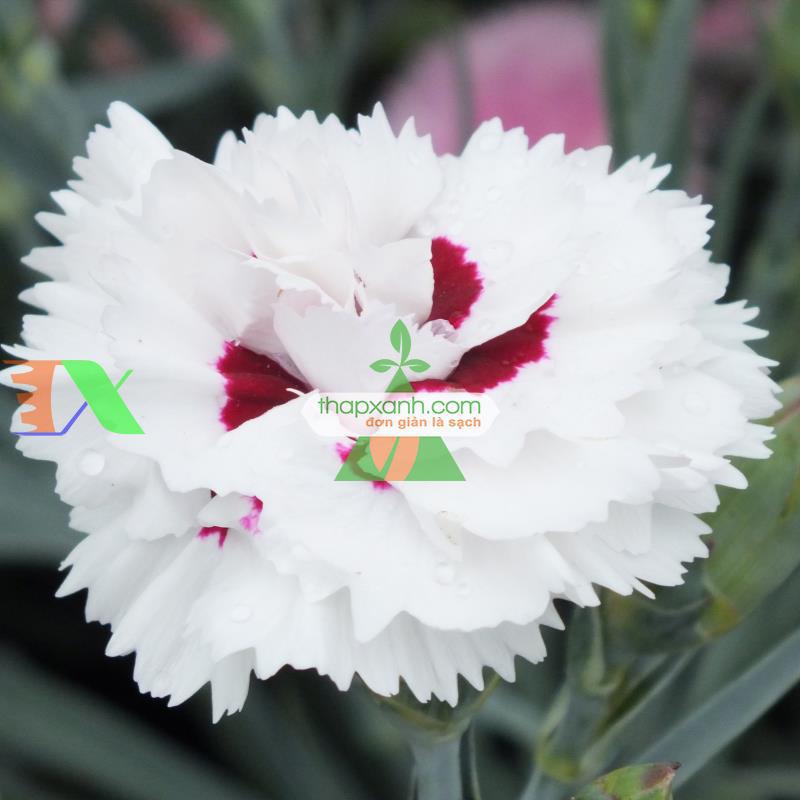 Quy trình kỹ thuật trồng hoa Cẩm Chướng