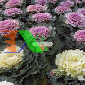 Ảnh của Hạt giống Hoa Bắp Cải Xoăn