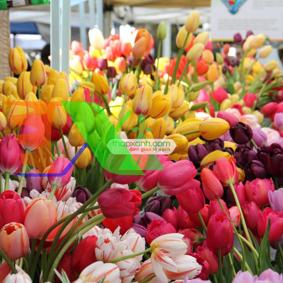 Picture of Củ hoa TuLip, Giống hoa Tulip, Củ mầm hoa Tu lip