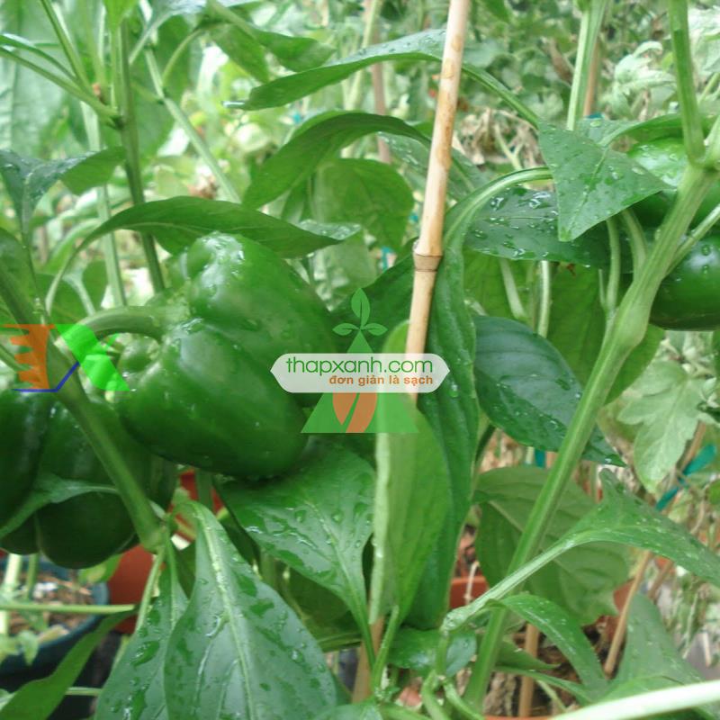 Kỹ thuật trồng ớt cho sai quả