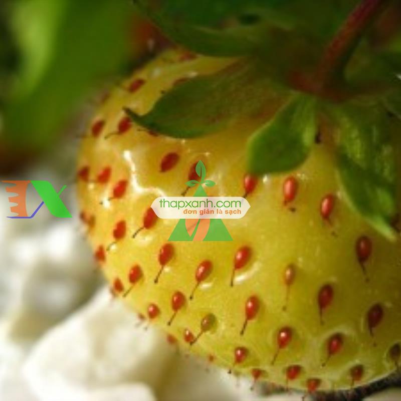 Kỹ thuật trồng Dâu Tây với nhà kính hoặc nhà màng
