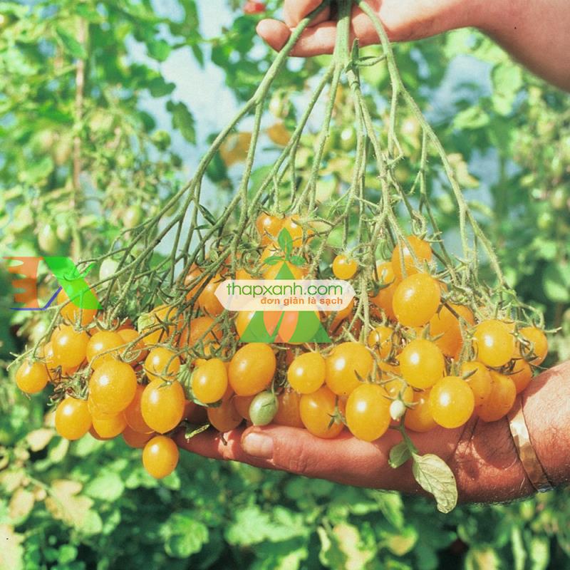 Hạt giống Cà Chua Bi mix