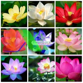 Ảnh của Hạt giống hoa Sen Nhật mini