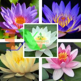 Picture of Hạt giống hoa Súng Thái