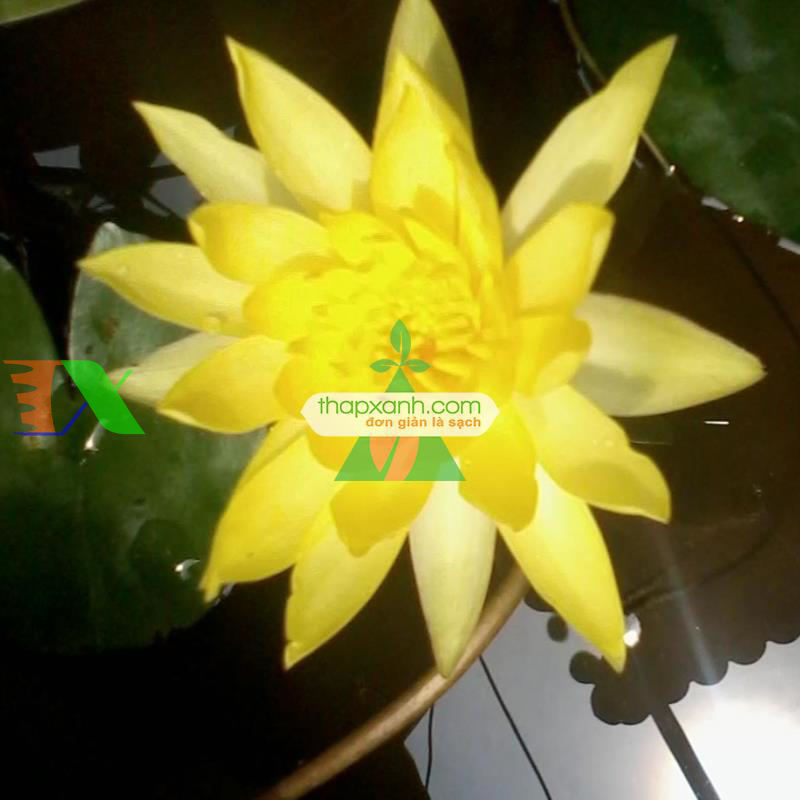 Hạt giống hoa Súng Thái