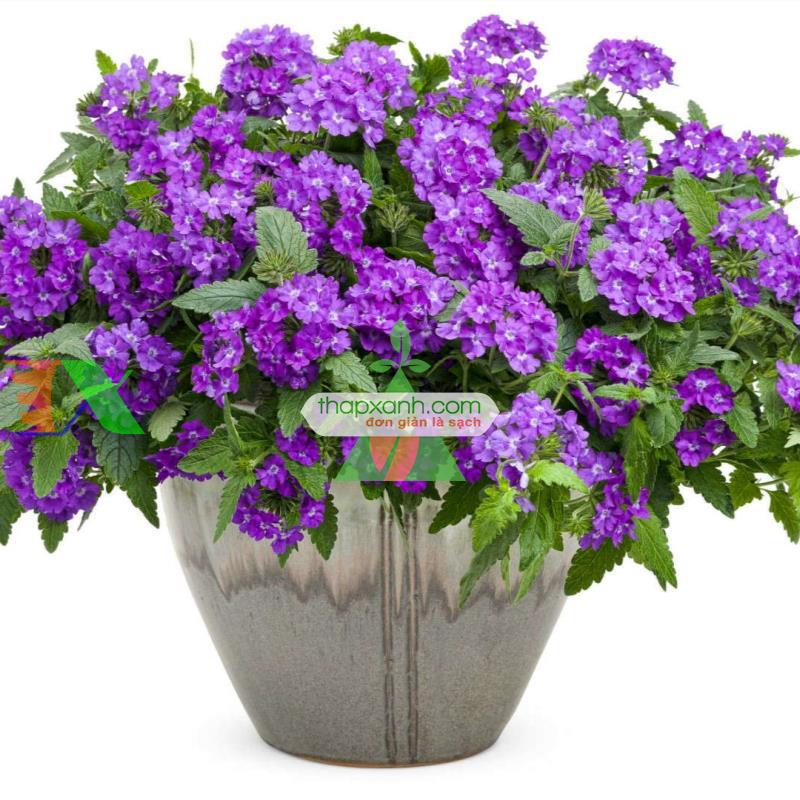 Kỹ thuật trồng và chăm sóc hoa Vân Anh (Mã Tiên Thảo)