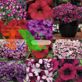 Ảnh của Hạt giống hoa Dạ Yến Thảo rủ mix