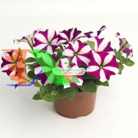 Picture of Hạt giống hoa Dạ Yến Thảo sọc rủ mix