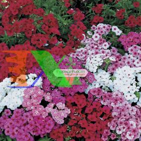 Ảnh của Hạt giống hoa Dạ Yến Thảo đứng mix