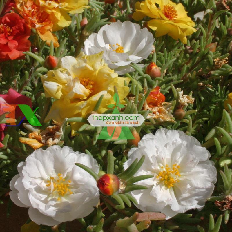 Kỹ thuật trồng và chăm sóc hoa mười giờ