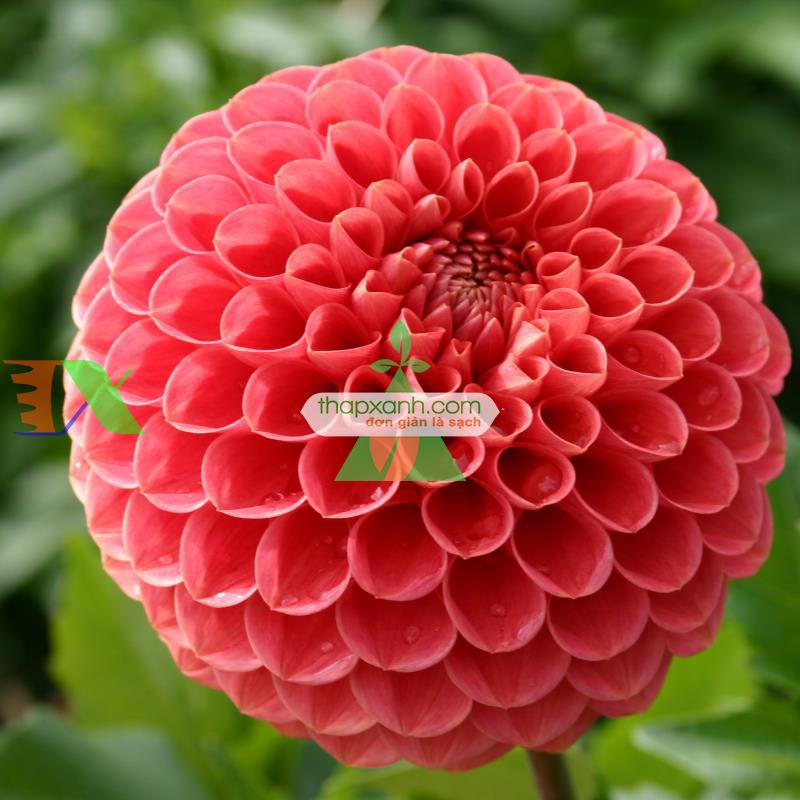 Kỹ thuật trồng hoa Thược Dược