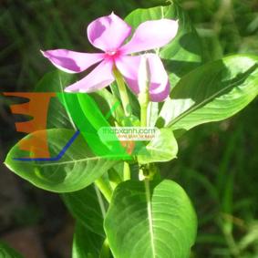Picture of Hạt giống hoa Dừa Cạn