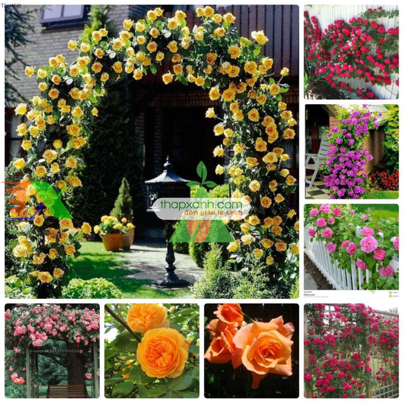 Kỹ thuật trồng hoa hồng leo