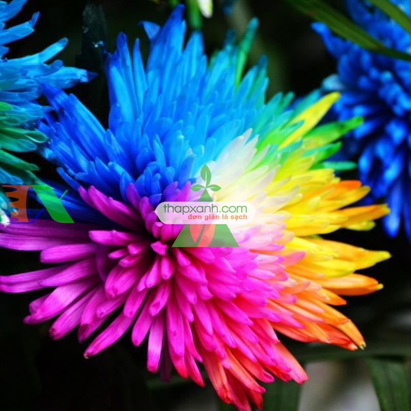 Hạt giống hoa Cúc Cầu Vồng