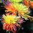 Picture of Hạt giống hoa Cúc Cầu Vồng