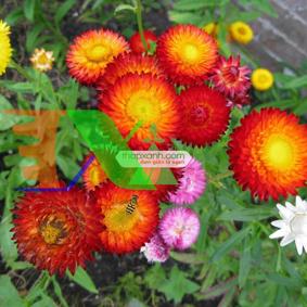 Picture of Hạt giống hoa Bất Tử (màu hồng)