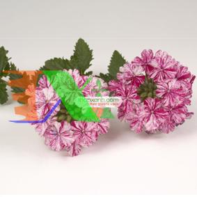 Ảnh của Hạt giống hoa Cúc Indo (Cỏ roi ngựa, Mỹ)