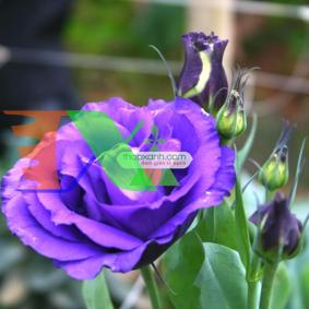 Ảnh của Hạt giống Hoa Cát Tường (xanh tím)