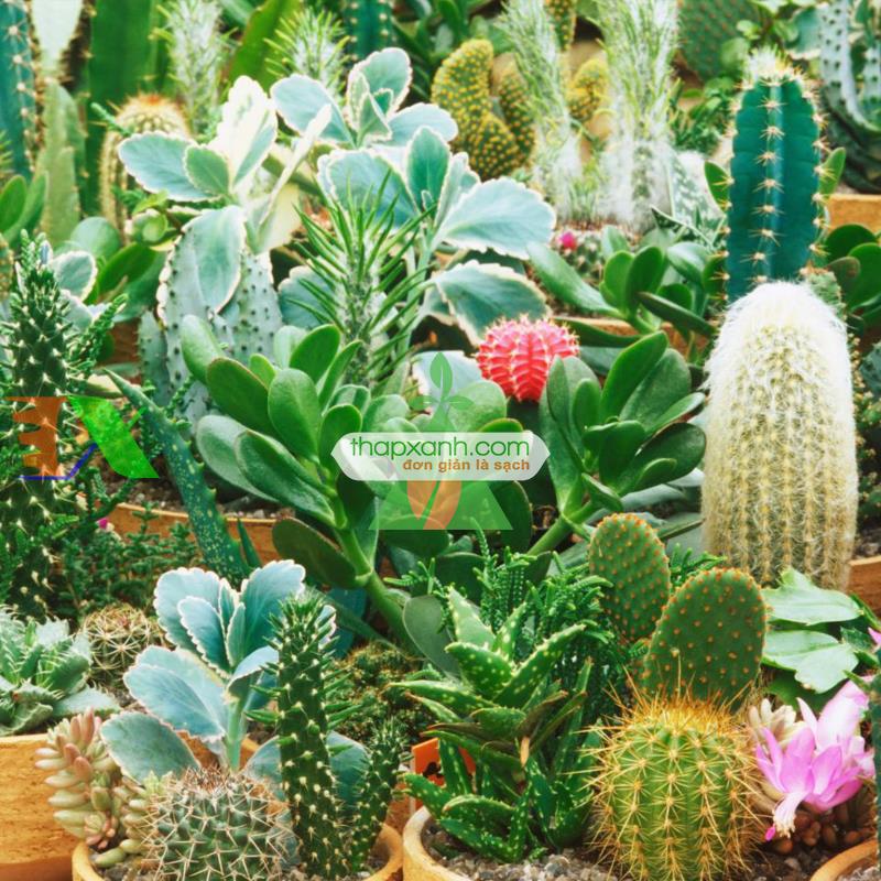 Cách trồng và chăm sóc cây Xương Rồng cho hoa đẹp