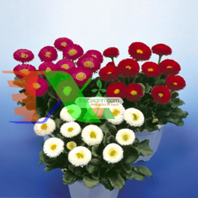 Ảnh của Hạt giống hoa Cúc Bellis tasso mix (Mỹ)