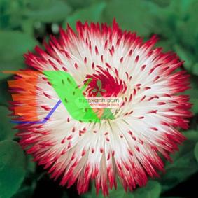 Picture of Hạt giống hoa Cúc Bellis Heaven mix (Mỹ)