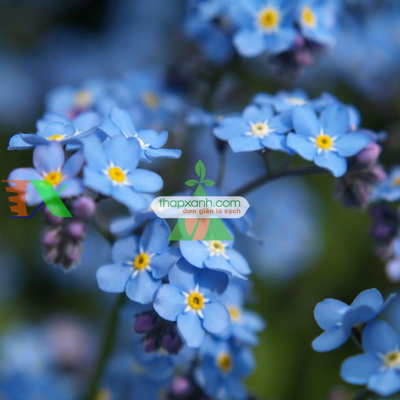 Kỹ thuật trồng hoa lưu ly tại nhà bằng hạt