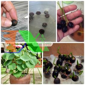 Ảnh của Hạt giống hoa Sen Nhật mini (gói 5 hạt 5 màu)