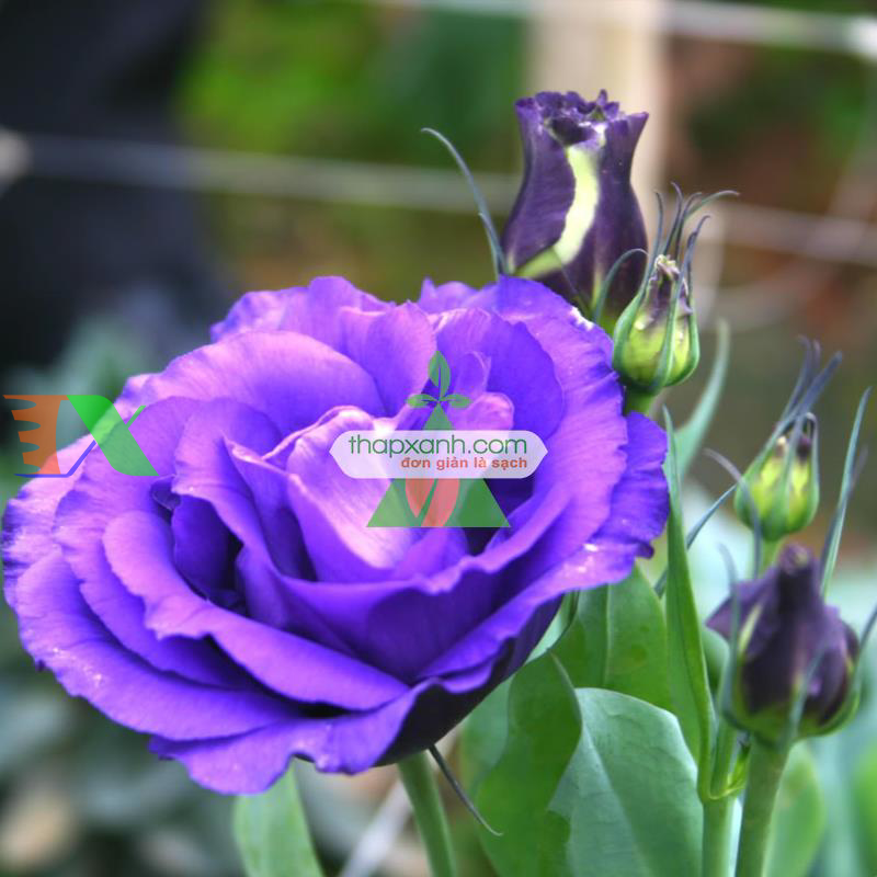 Kỹ thuật trồng và chăm sóc hoa Cát Tường