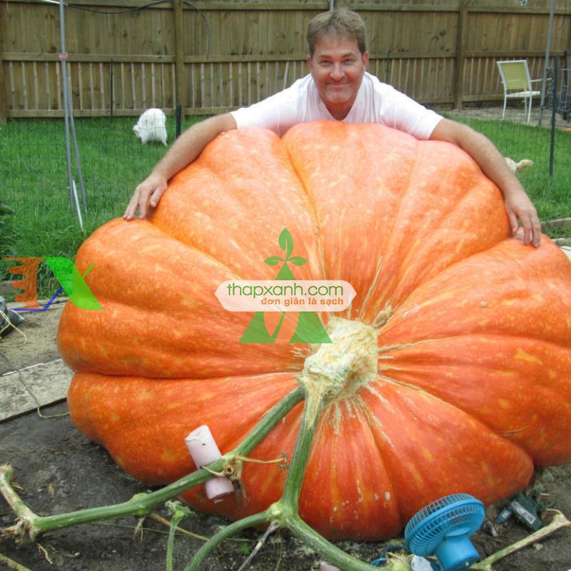 Hạt giống Bí Ngô khổng lồ (250kg)