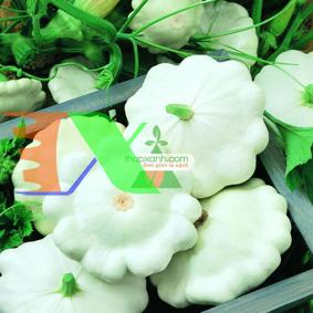 Picture of Hạt giống Bí Đĩa Bay trắng