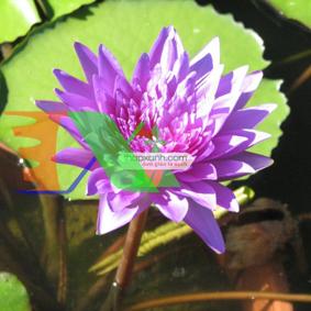 Picture of Cây hoa Súng Thái