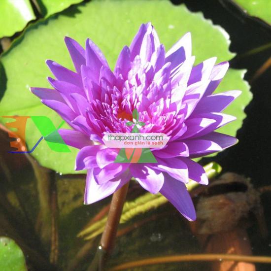 Ảnh của Cây hoa Súng Thái
