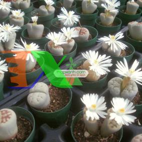Picture of Cây Hoa Sỏi (hoa Thạch Lan)