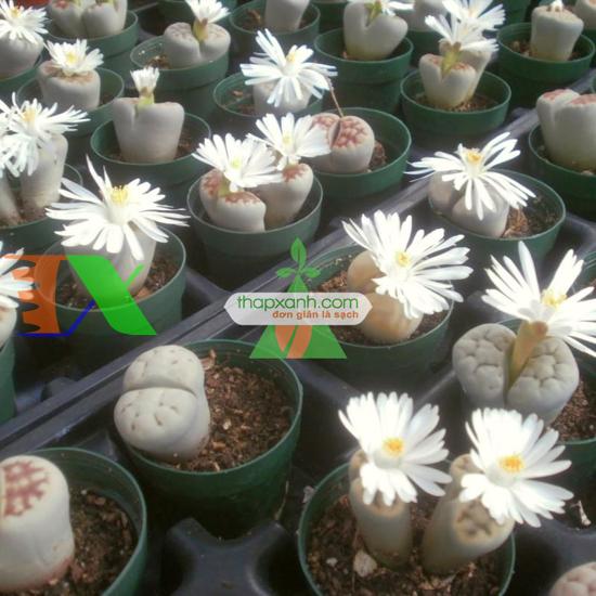 Ảnh của Cây Hoa Sỏi (hoa Thạch Lan)