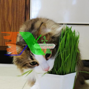 Picture of Hạt giống cỏ cho Mèo