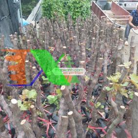 Ảnh của Cây Nho Pháp (Cây nho Ninh Thuận)