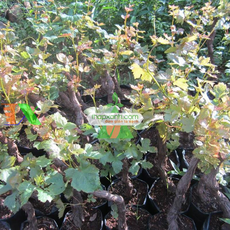 Kỹ thuật trồng và chăm sóc Nho pháp