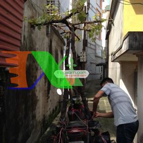 Ảnh của Cây Nho Pháp (Nho Ninh Thuận, khổng lồ)