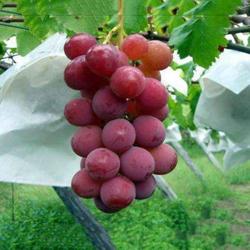 Hình ảnh cho danh mục Túi bảo vệ trái cây