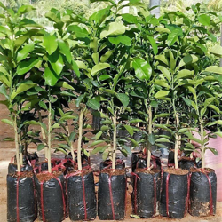 Picture for category Plant varieties